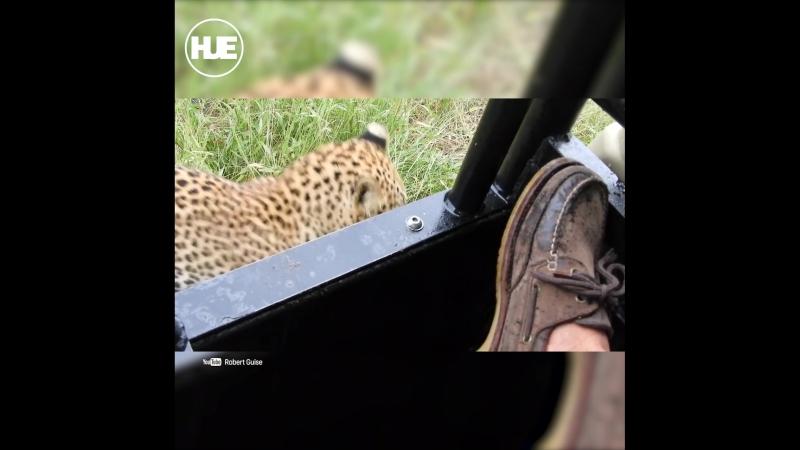 В Ботсване путешественник дал большой кошке поиграться со своим ботинком