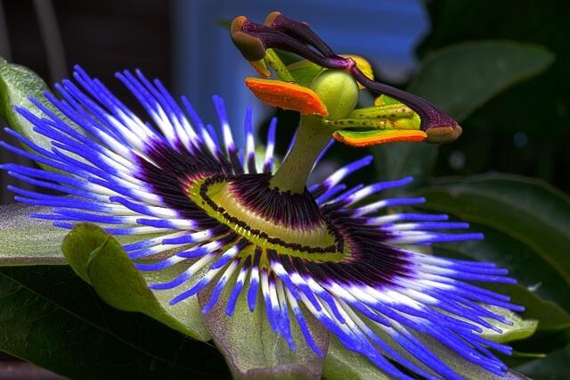 побочные эффекты цветка пассифлоры