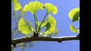 Ginkgo Biloba Can Boost Your Brain Health