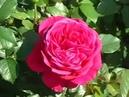 Rose Fisherman's Friend Фишермэнс фреэнд роза