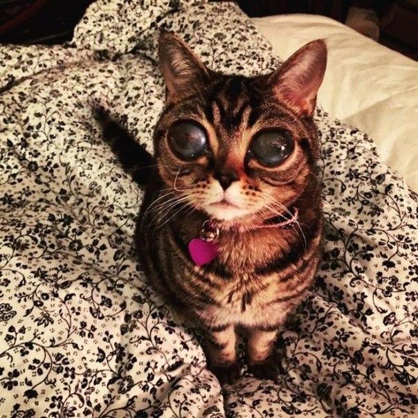 Инопланетная кошка Матильда Кошку Матильду с большими стеклянными линзами пользователи социальных сетей назвали «инопланетянкой».На сайте Матильды ее владельцы написали, что кошка родилась в