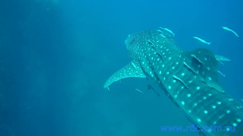 Тайланд о Самуи китовая акула