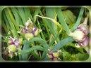 Посадите многоярусный лук