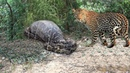 Leopard vs Big Python Snake Real Fight ►► Tiger Boar Lion Hyena Giraffe Rhino - Wild Animal Attacks