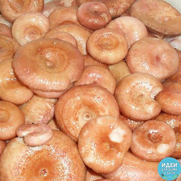 Соленые волнушки – самая замечательная закуска на зиму.