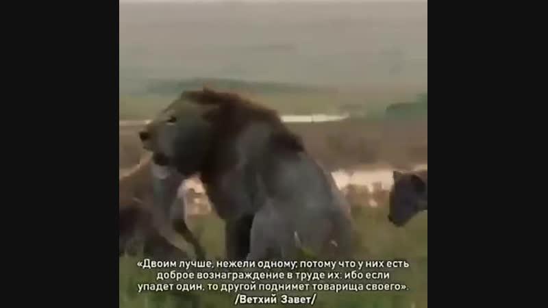 Даже если ты лев бывает так что тебе необходим Брат.mp4