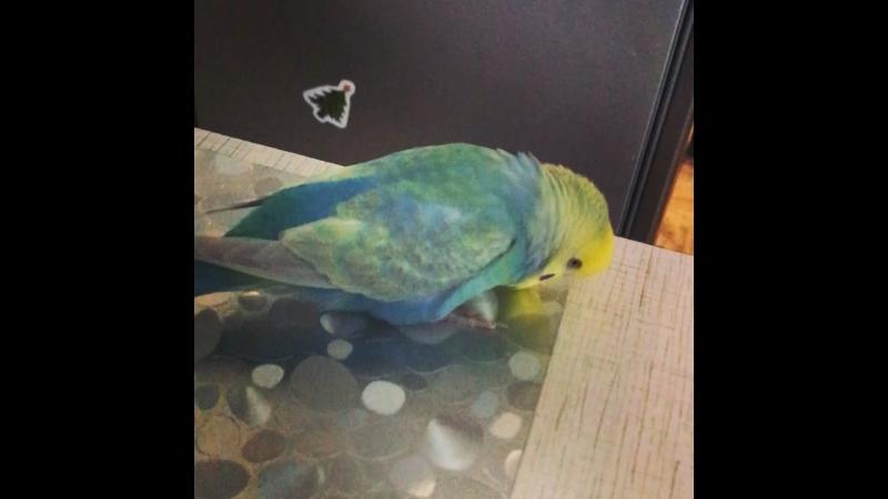 Ручной волнистый попугай Яша разговаривает