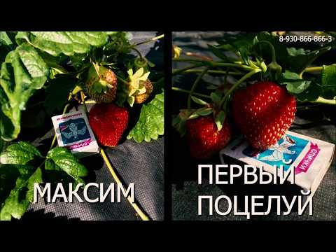 Продаю саженцы земляники Максим и Первый поцелуй
