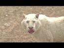 5 Incredibly Rare White Snow Tigers Born in China