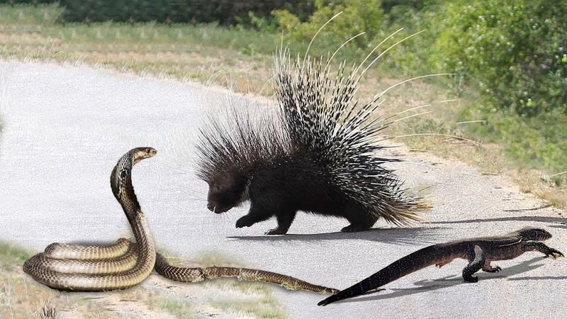 Nhím vs Rắn hổ mang - Bản năng phi thường khó tin của loài rắn bái phục bái phục