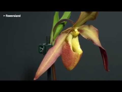 Орхидея Phragmipedium St.Quen x longifolium