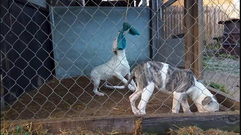 Пит-бульдоги от Ари и Терри pedigree.gamedogs.czdetails.phpid=341064