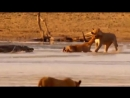 Нильский крокодил ворует антилопу из пасти львицы
