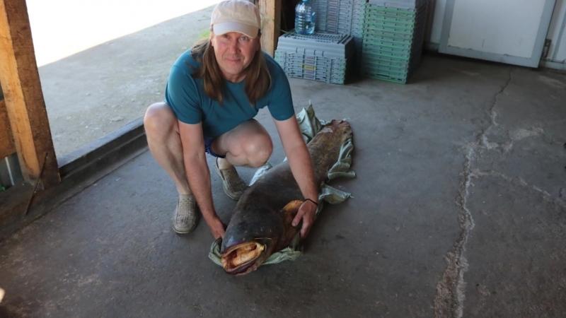 Белозерские рыбаки поймали сома с человеческий рост