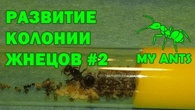 Развитие колонии жнецов 2