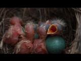 Птенцы дрозда белобровика