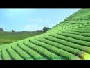 Organic Green Tea -Зеленый чай