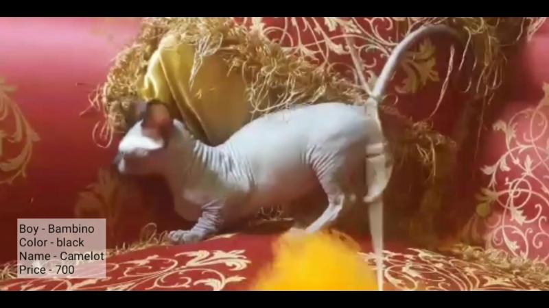 Boy kitten Bambino Camelot