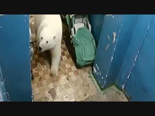 На Новой земле введен режим ЧС из-за нашествия белых медведей