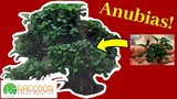 How to Grow Anubias Anubias Nana Petite Aquarium Plants
