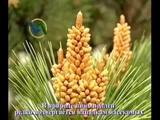 Пыльца сосны - источник жизни и здоровья