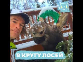 Мужчина дружит с лосями