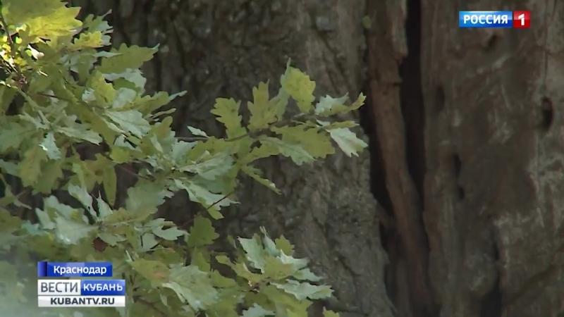 Обнаженные в кружевах кто пожирает столетние дубы Краснодара