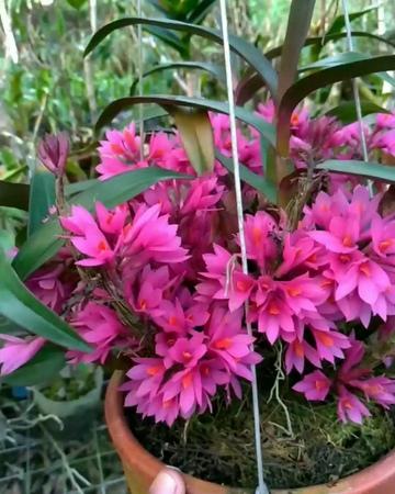 "Fahri Orchid🌱 on Instagram ""Spectacular Dendrobium hibiki  Dendrobium orChid anggrek dendrobiumhibiki"""