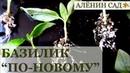 Не забудьте так сделать БАЗИЛИК для домашнего огорода зимой Выращивание базилика