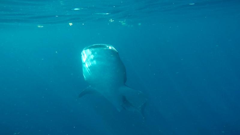 Китовая акула Мексика