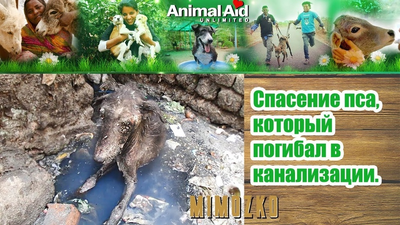 Animal Aid Unlimited India на русском Спасение пса который погибал в канализации Rescue of heart broken dog dying alone in sewage