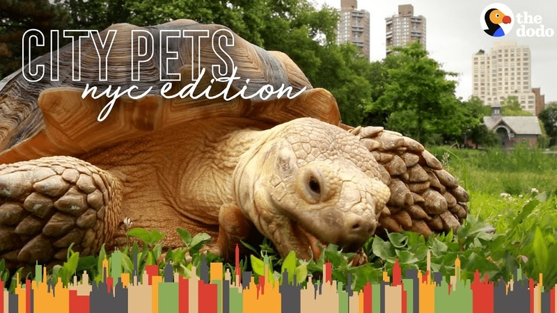 Tortoise Lives In Harlem And Hangs Out In Central Park | The Dodo City Pets