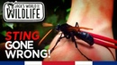 Укус Тарантулового Ястреба .Tarantula Hawk Wasp Sting GONE WRONG!!