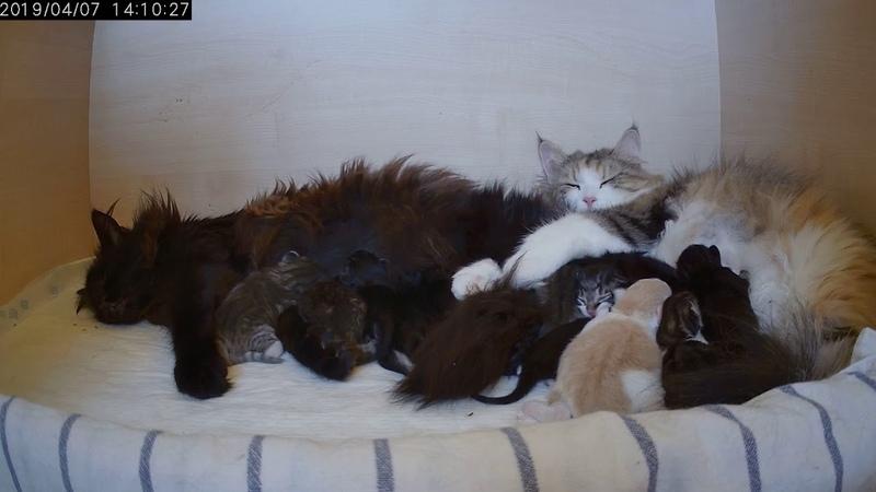 ღ Kittens of Boyd Izzie ღ the first days sharing with Pite's kittens ღ