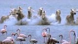 Wild Horses Run into Flamingos Feeding BBC Earth
