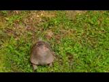 Черепашка в родной среде обитания.