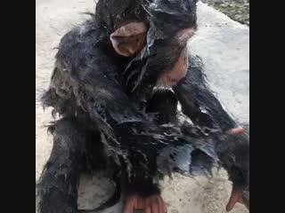 Водные забавы 2-летнего шимпанзе