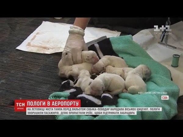 Собака-поводир народила в аеропорту перед самим відльотом літака господарів