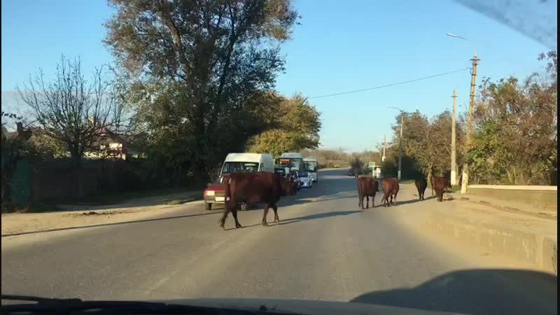 Индия по керченски миграция священных коров по дорогам города