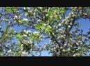 Яблони в цвету мой огород 25,05,2018