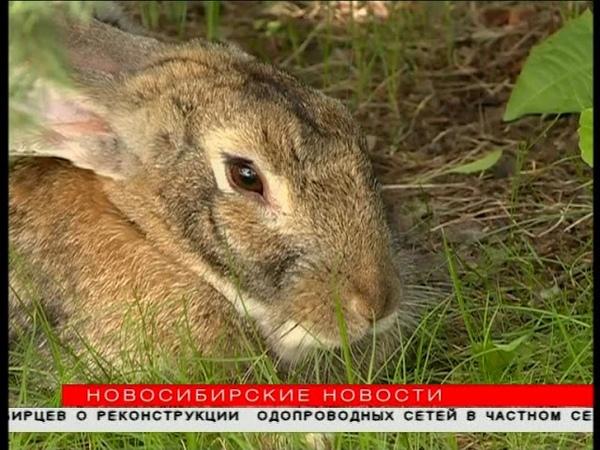 Кролики расплодились в Академгородке: где можно встретить ушатых