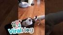 Cat Gets Carted Around By Dog Friends || ViralHog