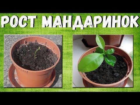 Выращиваем мандаринки в домашних условиях. Развитие росточка с самого рождения