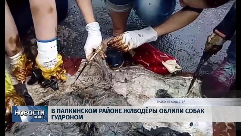 Новости Псков 06 06 2018 В Палкинском районе живодёры облили собак гудроном