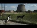 Собаки Чернобыля. Припять