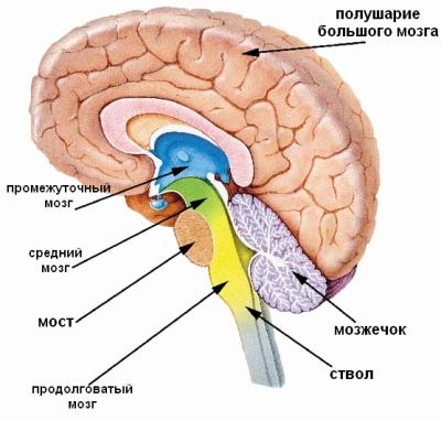 Схема человеческого мозга, включая ствол мозга.