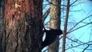 Black Woodpecker Желна Чёрный дятел
