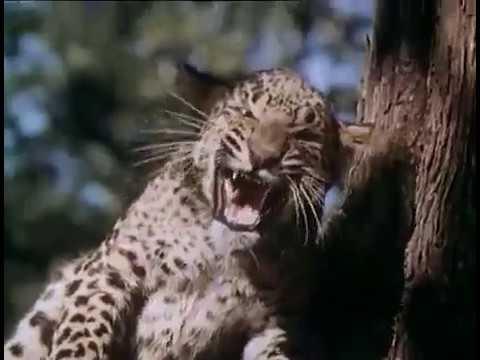 Король джунглей Maa 1976