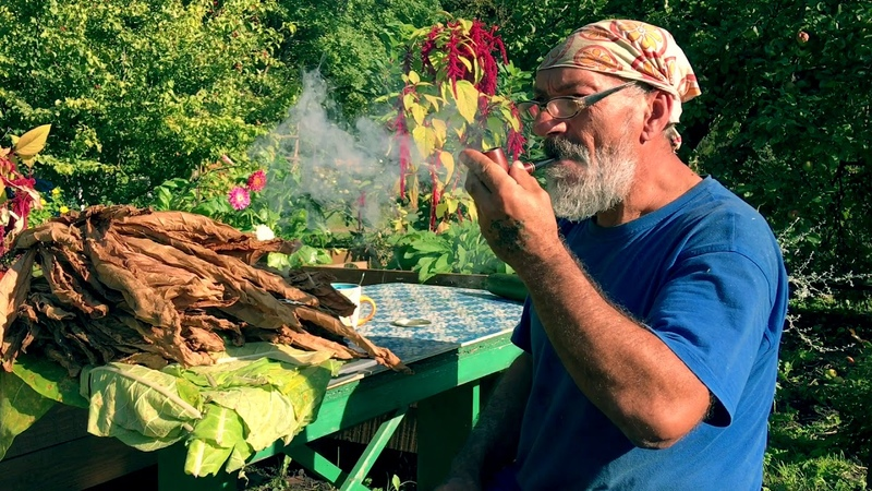 Как вырастить табак на огороде