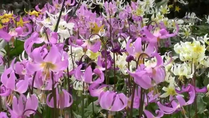 Bulb Log video diary supplement Comparing Erythronium revolutum hybrids